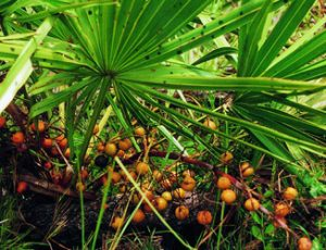 Saw palmetto and breast growth
